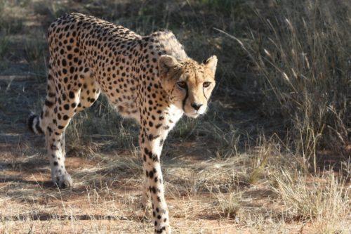 cheetah-2042448_1920